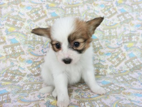 パピヨンの子犬(ID:1244711665)の1枚目の写真/更新日:2018-12-30