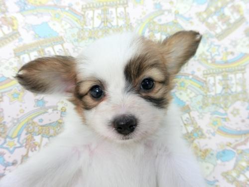 パピヨンの子犬(ID:1244711665)の2枚目の写真/更新日:2018-05-21