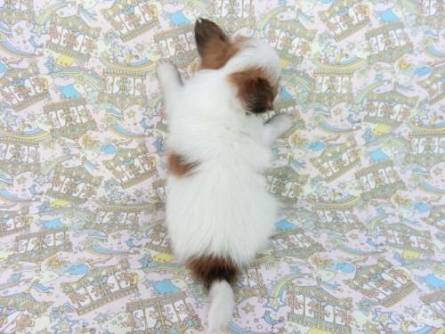 パピヨンの子犬(ID:1244711665)の3枚目の写真/更新日:2018-02-19
