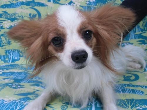 パピヨンの子犬(ID:1244711666)の1枚目の写真/更新日:2018-02-19