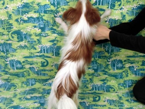 パピヨンの子犬(ID:1244711666)の2枚目の写真/更新日:2018-02-19