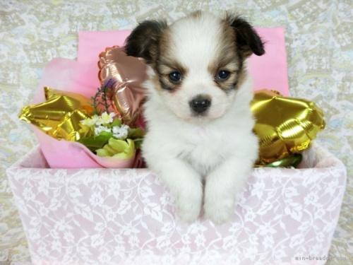 パピヨンの子犬(ID:1244711667)の2枚目の写真/更新日:2018-06-04