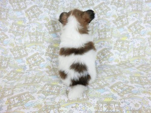 パピヨンの子犬(ID:1244711667)の3枚目の写真/更新日:2019-04-15