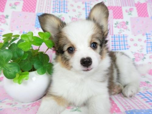 パピヨンの子犬(ID:1244711668)の2枚目の写真/更新日:2018-02-19