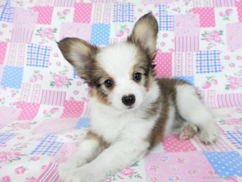 パピヨンの子犬(ID:1244711668)の3枚目の写真/更新日:2018-02-19