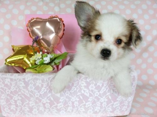 パピヨンの子犬(ID:1244711669)の2枚目の写真/更新日:2018-02-19