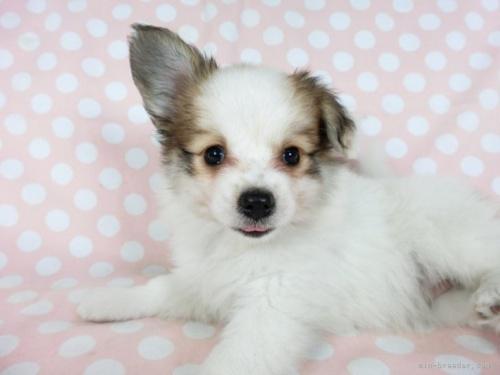パピヨンの子犬(ID:1244711669)の3枚目の写真/更新日:2021-01-25