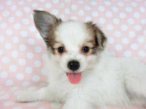 パピヨンの子犬(ID:1244711669)の4枚目の写真/更新日:2018-02-19