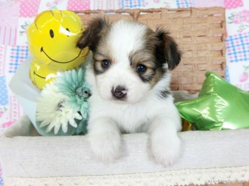 パピヨンの子犬(ID:1244711670)の2枚目の写真/更新日:2018-02-19