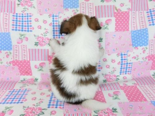 パピヨンの子犬(ID:1244711670)の3枚目の写真/更新日:2018-02-19