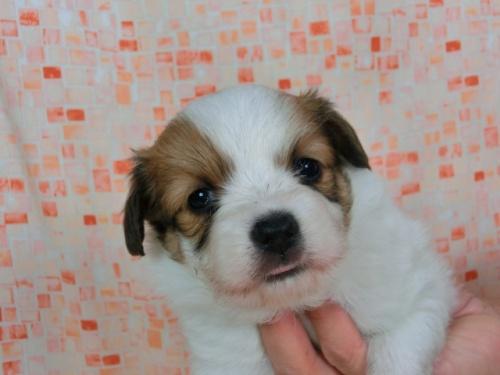 パピヨンの子犬(ID:1244711671)の1枚目の写真/更新日:2018-02-19