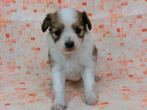 パピヨンの子犬(ID:1244711672)の2枚目の写真/更新日:2018-02-19
