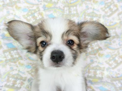 パピヨンの子犬(ID:1244711673)の1枚目の写真/更新日:2018-02-19