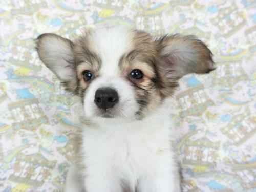 パピヨンの子犬(ID:1244711673)の2枚目の写真/更新日:2018-02-19