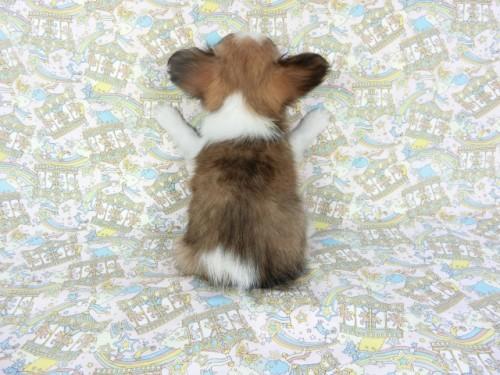 パピヨンの子犬(ID:1244711673)の3枚目の写真/更新日:2018-02-19