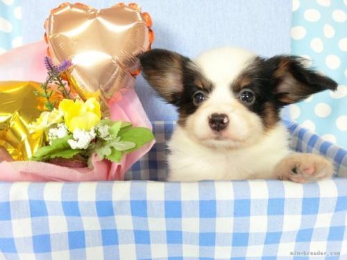 パピヨンの子犬(ID:1244711674)の2枚目の写真/更新日:2018-07-26