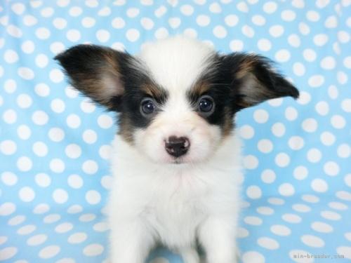 パピヨンの子犬(ID:1244711674)の3枚目の写真/更新日:2018-07-26