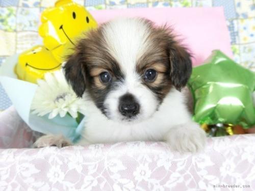 パピヨンの子犬(ID:1244711675)の2枚目の写真/更新日:2018-07-05