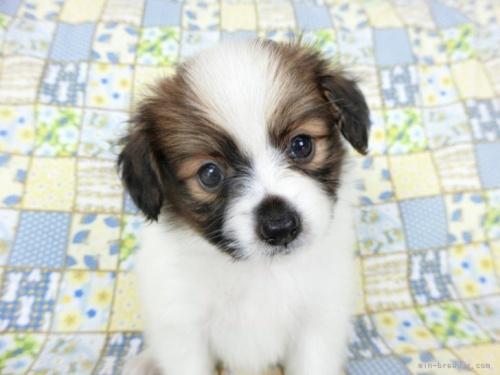 パピヨンの子犬(ID:1244711675)の3枚目の写真/更新日:2018-07-05