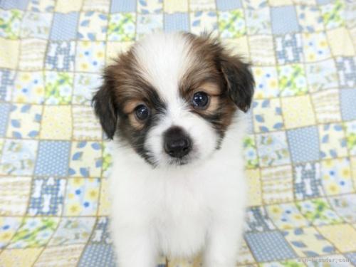 パピヨンの子犬(ID:1244711675)の4枚目の写真/更新日:2018-07-05