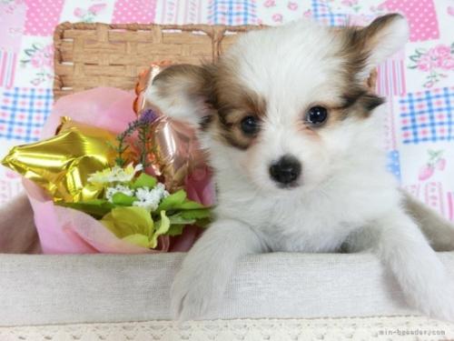 パピヨンの子犬(ID:1244711676)の2枚目の写真/更新日:2018-04-13