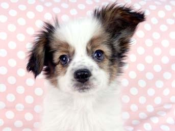 パピヨンの子犬(ID:1244711677)の1枚目の写真/更新日:2018-05-21
