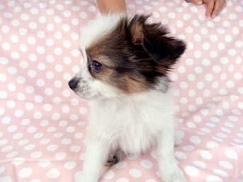パピヨンの子犬(ID:1244711677)の2枚目の写真/更新日:2018-05-21
