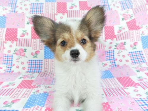 パピヨンの子犬(ID:1244711678)の1枚目の写真/更新日:2020-10-12