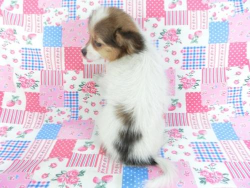 パピヨンの子犬(ID:1244711678)の2枚目の写真/更新日:2018-05-21