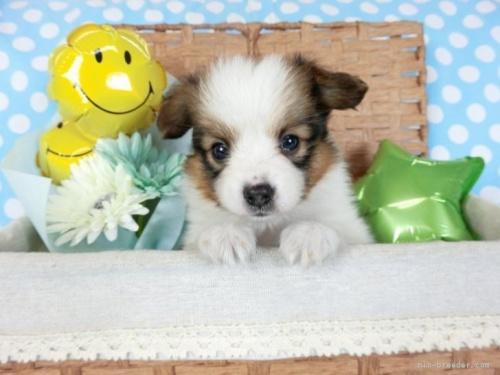 パピヨンの子犬(ID:1244711679)の2枚目の写真/更新日:2019-12-09