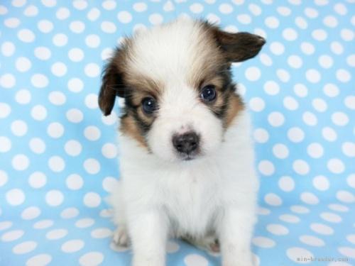 パピヨンの子犬(ID:1244711679)の3枚目の写真/更新日:2018-05-21