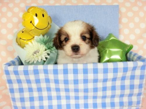 パピヨンの子犬(ID:1244711680)の2枚目の写真/更新日:2019-12-09