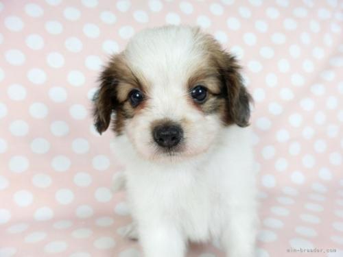 パピヨンの子犬(ID:1244711680)の3枚目の写真/更新日:2018-05-21