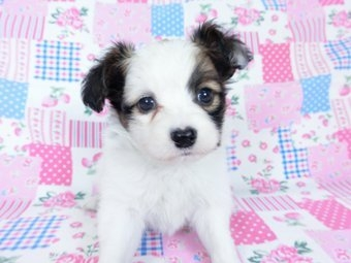 パピヨンの子犬(ID:1244711682)の2枚目の写真/更新日:2018-12-30