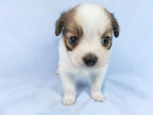 パピヨンの子犬(ID:1244711683)の1枚目の写真/更新日:2018-07-02