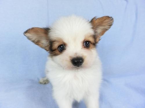 パピヨンの子犬(ID:1244711684)の1枚目の写真/更新日:2018-07-02
