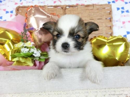 パピヨンの子犬(ID:1244711685)の2枚目の写真/更新日:2021-04-19