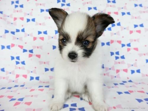パピヨンの子犬(ID:1244711685)の3枚目の写真/更新日:2021-04-19