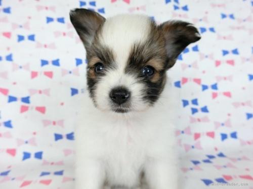 パピヨンの子犬(ID:1244711685)の4枚目の写真/更新日:2021-04-19