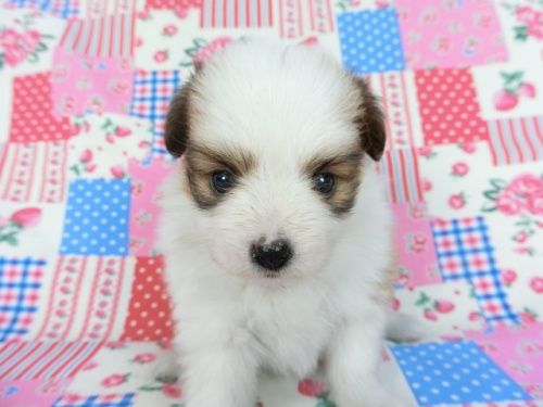 パピヨンの子犬(ID:1244711686)の1枚目の写真/更新日:2018-06-29