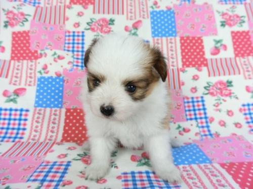 パピヨンの子犬(ID:1244711686)の2枚目の写真/更新日:2018-06-29