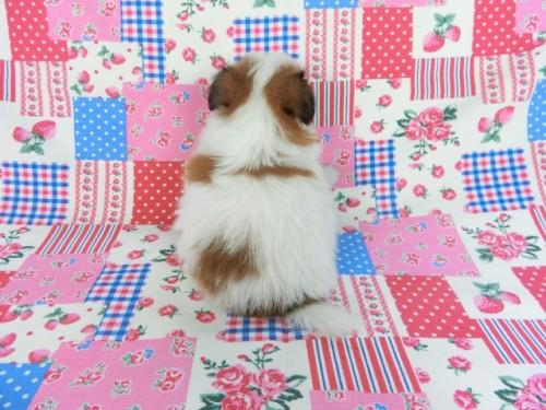 パピヨンの子犬(ID:1244711686)の3枚目の写真/更新日:2018-06-29
