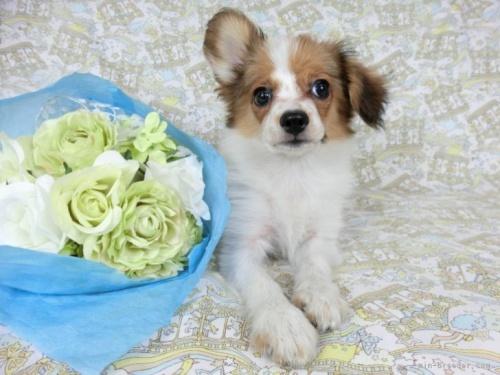 パピヨンの子犬(ID:1244711687)の2枚目の写真/更新日:2020-09-10