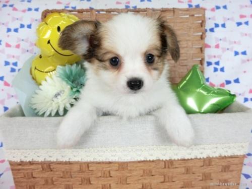 パピヨンの子犬(ID:1244711688)の2枚目の写真/更新日:2021-05-12