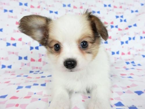 パピヨンの子犬(ID:1244711688)の3枚目の写真/更新日:2021-05-12