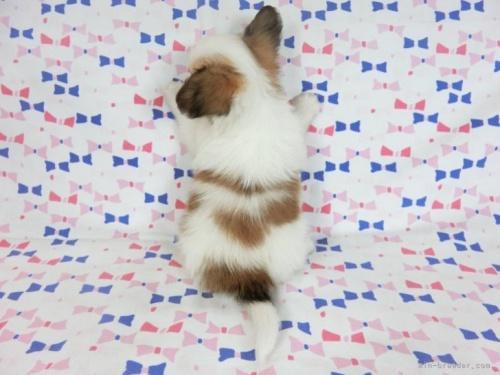 パピヨンの子犬(ID:1244711688)の4枚目の写真/更新日:2021-08-27