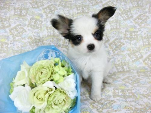 パピヨンの子犬(ID:1244711689)の2枚目の写真/更新日:2021-04-28
