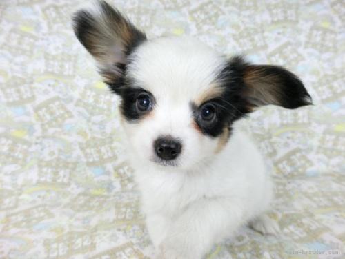 パピヨンの子犬(ID:1244711689)の3枚目の写真/更新日:2021-04-28