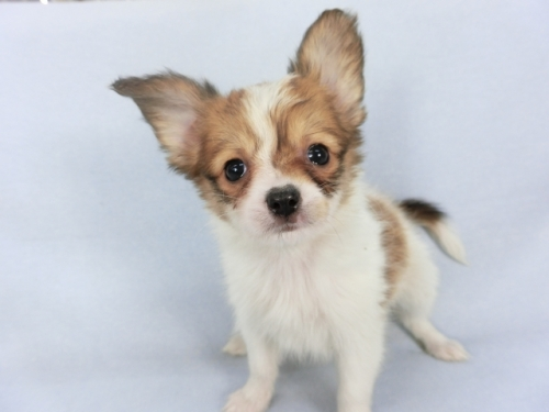 パピヨンの子犬(ID:1244711690)の2枚目の写真/更新日:2018-06-25
