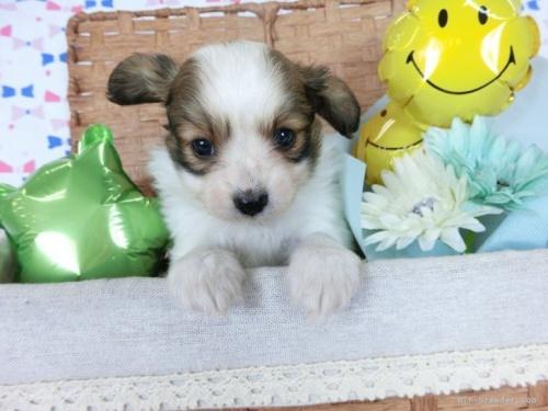 パピヨンの子犬(ID:1244711691)の2枚目の写真/更新日:2021-04-19